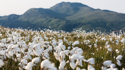 Meadow of white-tipped grasses overlooking Ben Lomond.